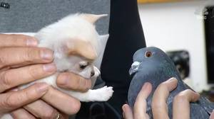 Unlikely friends: Pigeon and Chihuahua pals become social media stars