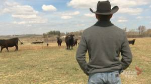 Alberta ranchers say new pandemic aid from Ottawa is 'like taking a bucket to a forest fire'