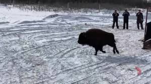 Poundmaker Cree Nation Bison (00:25)