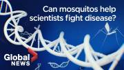 Play video: Can genetically-modified mosquitoes help fight vector-borne diseases like Malaria?