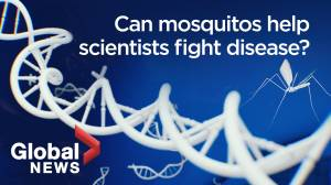 Can genetically-modified mosquitoes help fight vector-borne diseases like Malaria? (07:30)
