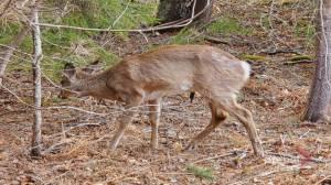 Illegal deer hunting investigation underway in Saint John