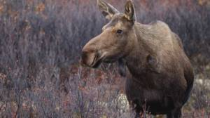 CO service urges vigilance after deer, moose chased to death by dogs in Naramata
