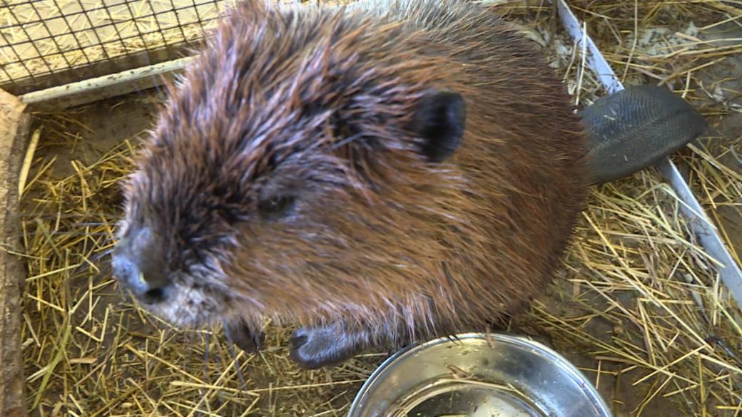 Brockville Aquatarium welcomes newest arrival Justin Beaver