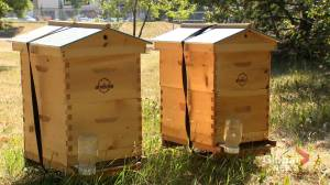 Golfers welcome 'brilliant' project to host beehives at Calgary course (01:37)