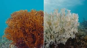 UBC study tracks dramatic decline in coral reefs (01:43)