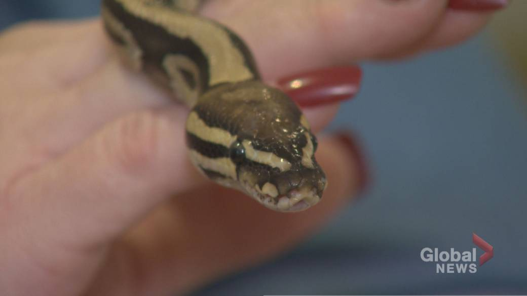 Missing python found after being on the lam since Toronto Raptors won championship in June