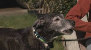 Lost senior dog found nine days after wandering away from owner in Surrey (02:23)