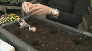 Gardenworks: Garlic Planting