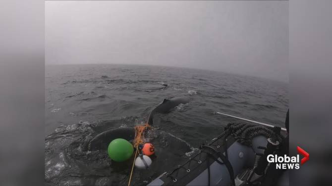 Video shows baby humpback whale freed from fishing gear off Vancouver Island