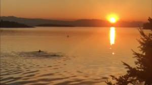 Orca pod spotted at sunrise in Nanoose Bay, B.C.