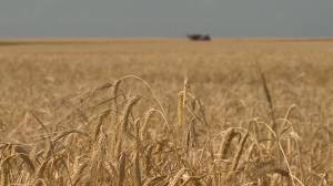 University of Saskatchewan researchers develop new crop-quality test (01:26)
