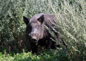 USask professor creates pig plotted map for locating wild boars on Google Earth (01:59)