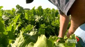 Earlier-than-normal sugar beet harvest begins in southern Alberta (02:00)