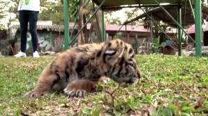 Coronavirus outbreak: 'Covid' the tiger brings joy to zoo in Mexico