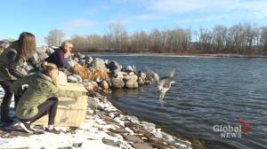 Blue heron released after being found covered in ice, snow near Calgary