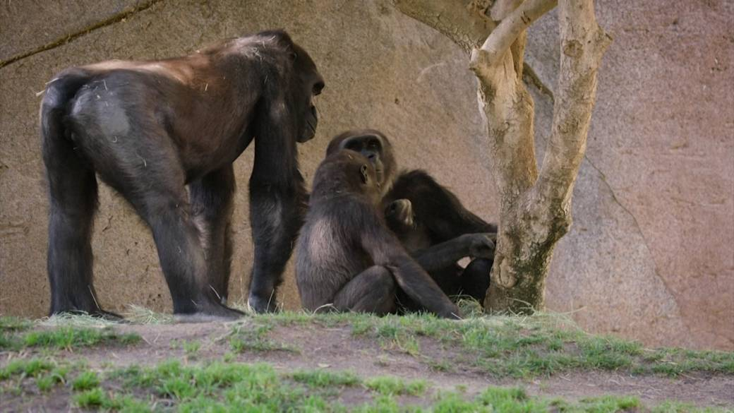 Click to play video 'Coronavirus: Gorillas at San Diego Zoo test positive for COVID-19'