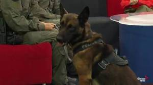 Meet Bender from the Edmonton Police Service canine unit