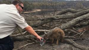 Kangaroo rescued from Australia guzzles from glass of water