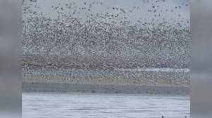 Southern Alberta bird watcher discovers unique bird species among estimated 60,000 snow geese