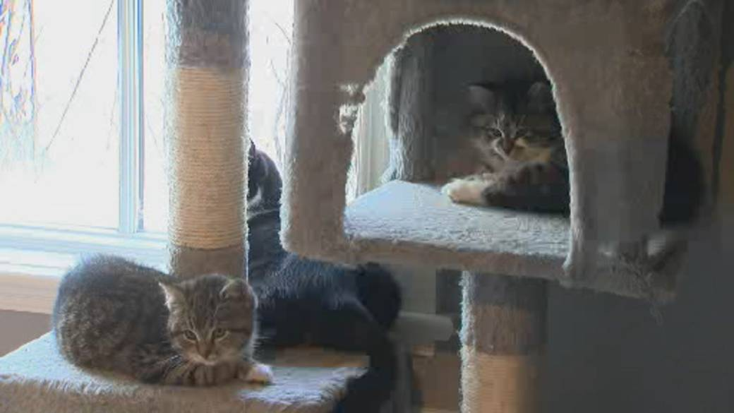 Click to play video 'Cat, kitten adoptions surge amid COVID-19 pandemic'