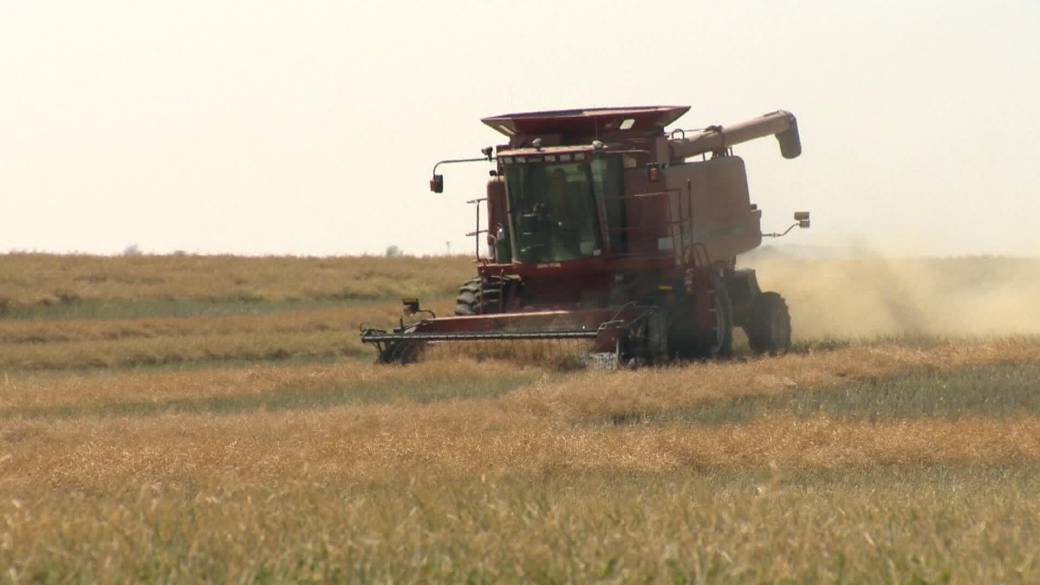 Click to play video: 'Contract concerns mount as harvest produces low yields for some'