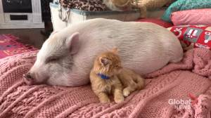 Pandemic pets hit it off as pig and kitten become fast friends (01:43)