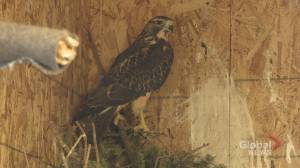 Wildlife rehab centre helps animals survive Alberta winters