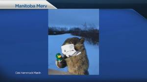 Groundhog Day 2021 in Manitoba (04:15)