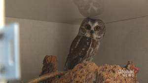 Wildlife hospital near Calgary sees spike in rescues, needs donations