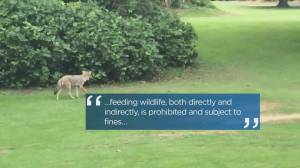 Vancouver Park Board looks at beefing up fines for feeding wildlife in Stanley Park (01:55)