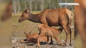 Staying safe during elk calving season in Alberta (05:43)