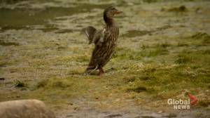 Calgary residents concerned for safety of ducklings left 'high and dry' (01:31)