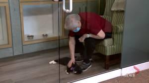 Pandemic pet: communal cat brings comfort for some Calgary seniors (01:28)