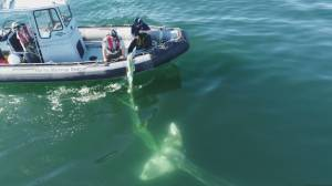 Gray whale rescued after being tangled in fishing gear in Nootka Sound (02:19)