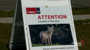 Coyote believed to be responsible for 3 attacks in Calgary to be killed (01:50)