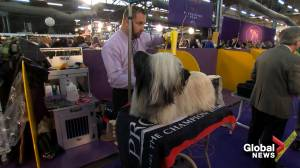 Dogs groomed, ready to compete in Westminster Dog Show