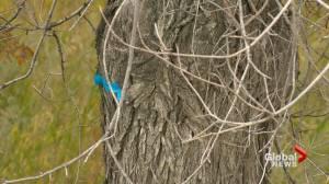 Dutch elm disease confirmed in Saskatoon's Montgomery Place neighbourhood