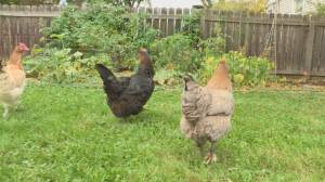Coop cap removed on Edmonton's urban chicken program