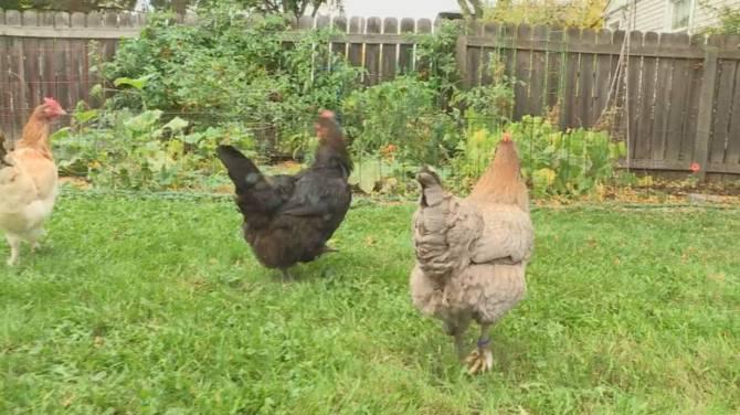 Coop cap lifted on Edmonton's urban chicken program