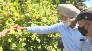 Historic heat wave in B.C. scorches crops, shatters records (03:45)