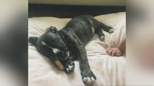 Etobicoke family desperate to find stolen puppy