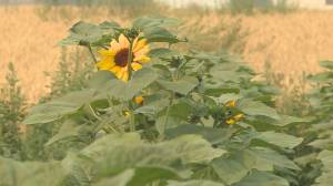 Sunflower Festival sprouts up in Armstrong (01:28)