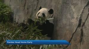 Calgary Zoo gives an update on trip home to China for pandas Er Shun and Da Mao (03:46)