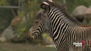 Edmonton zoo announces birth of rare type of zebra (01:38)