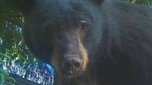 North Shore black bear killed after residents left food out to take videos