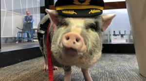 World's first airport therapy pig hogs the spotlight in San Francisco terminal