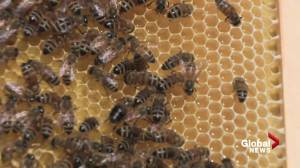 Honey bees might be on the roof of an Edmonton business near you (01:56)