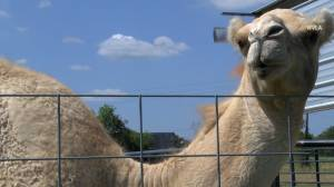 Woman bites camel's testicles to escape pin-down
