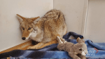 Coyote released back into the wild after recovering from injuries